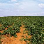 Valdepeñas es conocida como la Capital del Vino. Este sector ocupa a 4.000 viticultores en toda la comarca.
