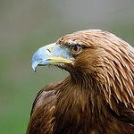 El Águila Real (en la imagen), junto a otras especies características de toda la zona manchega,  constituye una de las joyas endémicas de la fauna española que podemos contemplar en Riópar.