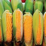 El estrés inducido por la sequía incrementa las probabilidades de que el maíz se contamine por aflatoxinas.
