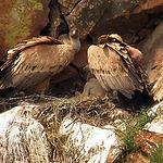 El buitre leonado es la más numerosa de todas las rapaces que hay en la comarca, muy frecuentes en los cañones occidentales del Parque Natural del Alto Tajo.