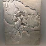 Archaeopteryx, género extinto de aves primitivas, intermedio entre los dinosaurios emplumados y las aves modernas. Fuente: Museo de Ciencias Naturales de Bruselas.
