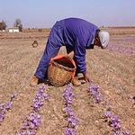Recogiendo la rosa del azafrán. Es conveniente hacerlo a primeras horas del día antes de que el sol caliente.