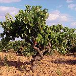 En relación a las líneas de ayuda comtempladas en la OCM del vino con respecto a la reestructuración de viñedos, se han abonado 28,6 millones de euros, 10 más de cuantía asignada inicialmente a Castilla-La Mancha.