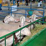 Exposición de ovejas de raza manchega en una de las ferias de Expovicaman celebrada en Albacete.