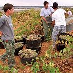 Como principal cultivo de carácter social, el viñedo genera 38.000 puestos de trabajo y nueve millones de jornales.