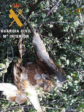 Guardia Civil detiene a un vecino de Lagartera por envenenar a tres ejemplares de milano real y tres zorros