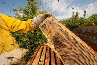 Apicultur con un panal de abejas. Foto de archivo.