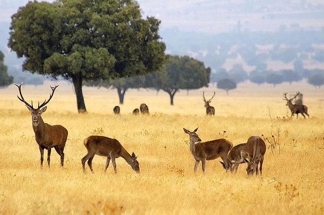 Uno de los proyectos de la Universidad regional consiste en la creación de un Banco de Semen de venados autóctonos de la Mancomunidad de Cabañeros. Foto: Ciervos ibéricos en el Parque Nacional de Cabañeros.