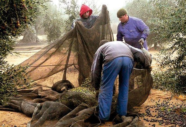 Las aceitunas deben recolectarse de los olivares a finales de otoño o comienzos de invierno.