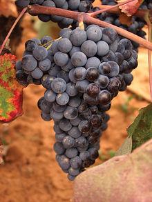 Aunque en Castilla-La Mancha predomina la variedad blanca, con los planes de reestructuración muchos viñedos se han orientado a variedades tintas.