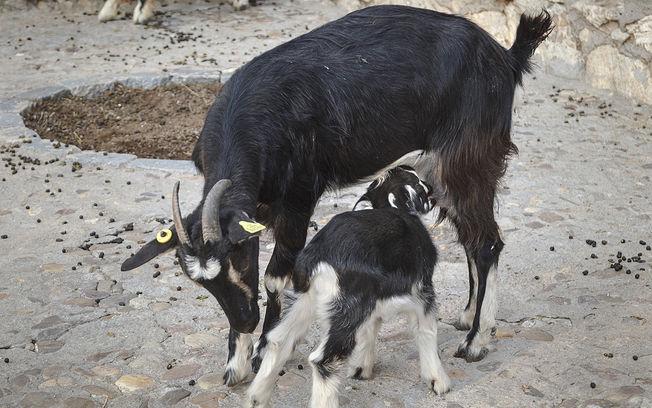 Nacimiento de nuevo choto, cabra en el zoo